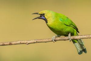 Jerdon's_Leafbird