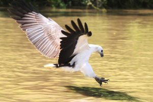 WB_Sea_Eagle_Pounce
