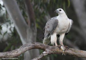 White-bellied_Sea-eagle_Haliaeetus_leucogaster