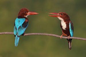 White-throated kingfisher pair 10-05